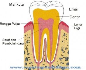Bagian Bagian Gigi Jenis Dan Fungsinya Lengkap