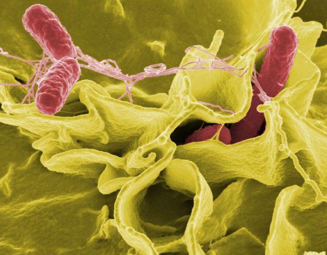 Pengertian Bakteri Salmonella dan Ciri-Ciri Bakteri Salmonella
