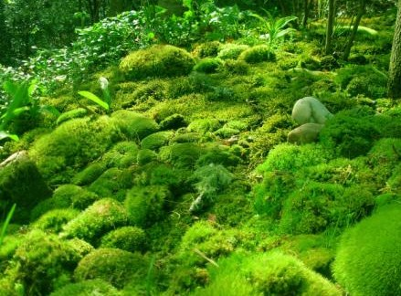 Pengertian Ciri Klasifikasi dan Contoh Tumbuhan Lumut Bryophyta