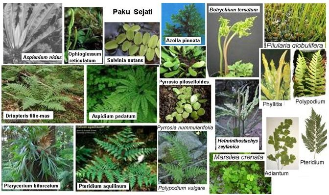 Pengertian Ciri Klasifikasi dan Contoh Tumbuhan Paku Pteridophyta
