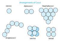 Ciri dan Bentuk Bakteri Kokus