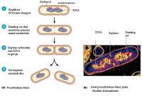 Pengertian pembelahan Biner Pada Bakteri dan Penjelasannya