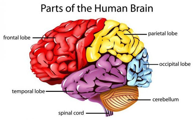 Pengertian, Fungsi serta Struktur dan Bagian Otak Kecil (Cerebellum)