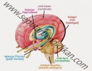 Struktur Otak Manusia