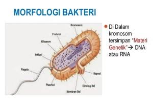 Struktur Morfologi Bakteri