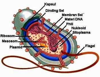 11 Struktur Bakteri Beserta Fungsinya