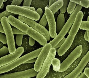 14 Macam Bakteri Yang Menguntungkan Bagi Manusia
