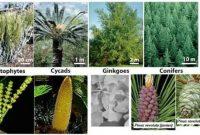 Pengertian, Klasifikasi, dan Manfaat Tumbuhan Berbiji (Spermatophyta)
