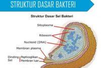 Struktur Dasar Bakteri Beserta Fungsinya