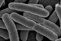 Pengertian Bakteri Coliform dan Contoh Bakteri Coliform
