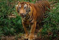 10 Hewan Terlangka di Indonesia - Harimau Sumatera