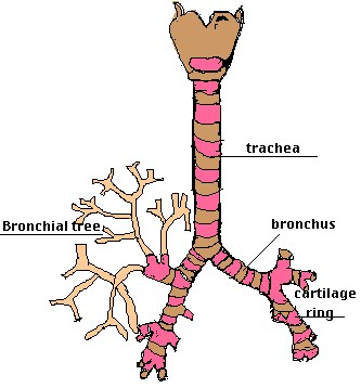 Pengertian, Fungsi dan Bagian Trakea (Batang Tenggorokan)