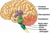Pengertian, Struktur, Bagian Pons Otak Beserta Fungsinya Lengkap