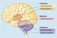Pengertian, Struktur Bagian dan Fungsi Otak Belakang (Metencephalon) Terlengkap