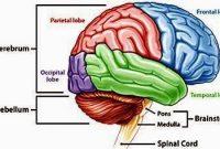 Pengertian, Struktur dan Fungsi Otak Besar (Cerebrum)