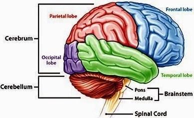 Fungsi Otak Besar