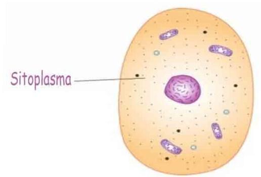 Pengertian, Fungsi, Struktur dan Bagian Sitoplasma