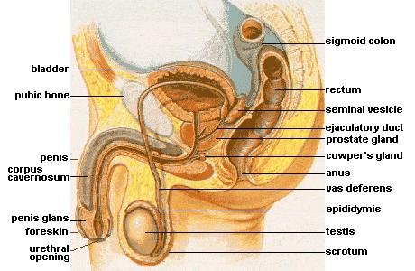 Pengertian, Struktur Anatomi dan Bagian Kelenjar Prostat