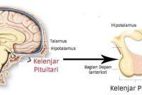 Pengertian, Struktur dan Fungsi Kelenjar Pituitari (Hipofisis)
