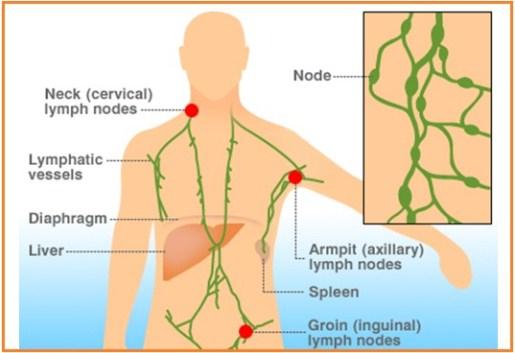 Pengertian, Struktur dan Fungsi Nodus Limfa