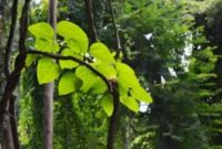 Pengertian, Bentuk, Jenis dan Contoh Tumbuhan Merambat