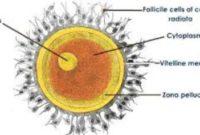Pengertian, Fungsi, Struktur dan Proses Pembentukan Ovum (Sel Telur)