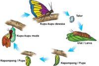 Proses Metamorfosis Kupu-Kupu Dan Penjelasannya