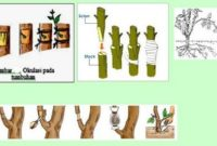 Pengertian Perkembangbiakan Vegetatif Pada Tumbuhan Beserta Jenis dan Caranya